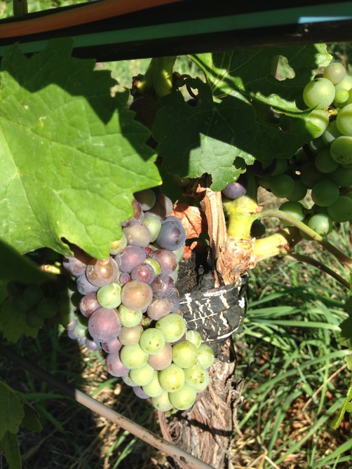 Veraison graft