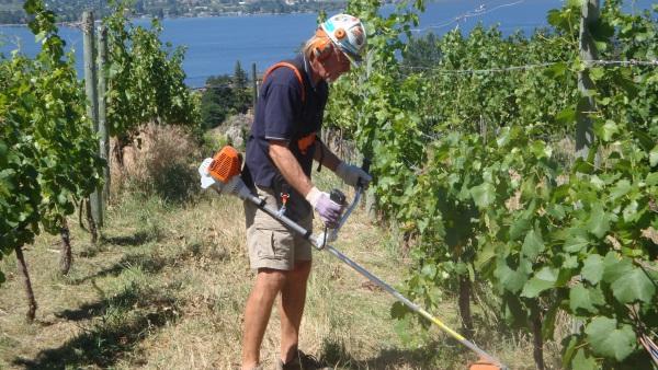 Cutting under vines